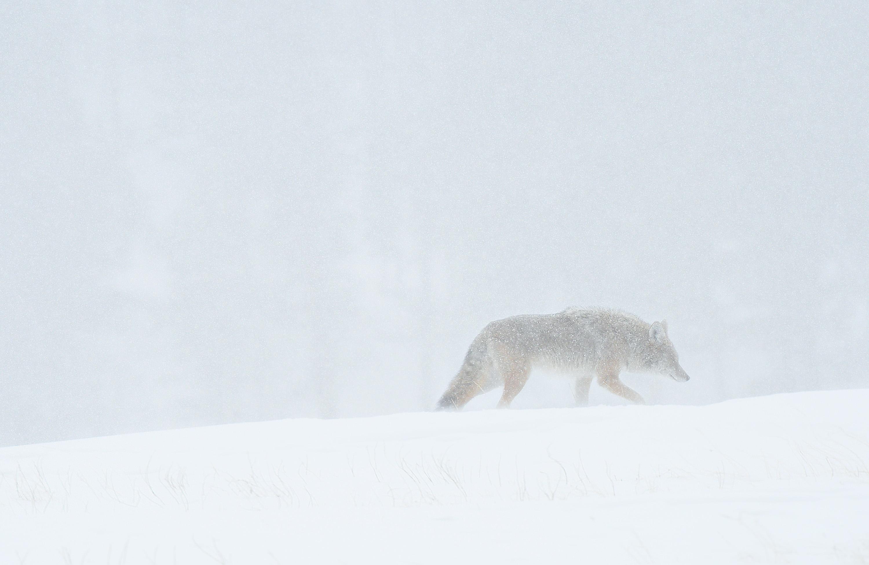 17-Winter-Coyote-II